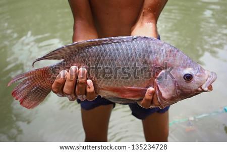 big tilapia in hands - stock photo