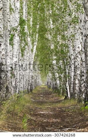 Birch alley - stock photo