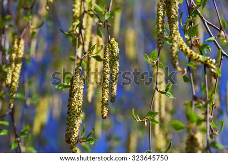 birch branches with catkins  in spring - stock photo