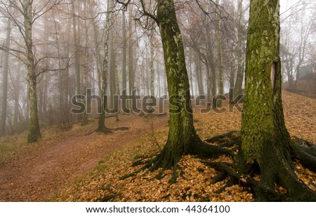Birch trees and forest with fog