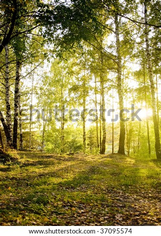 birch trees in forest  Sunlight is fallen from the sky on a beautiful autumn day - stock photo