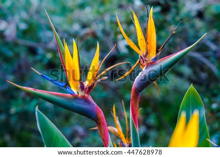 2 Bird Of Paradise Flowers at Royal Botanic Gardens Melbourne - stock photo