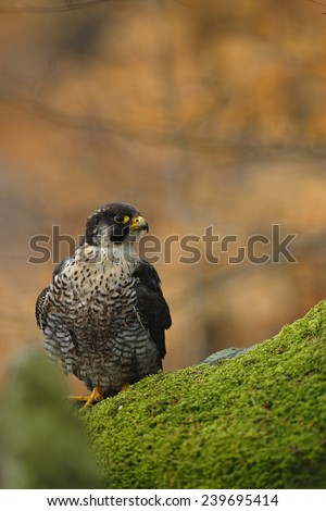 Bird of prey Peregrine Falcon sitting on the moss stone with orange autumn background - stock photo