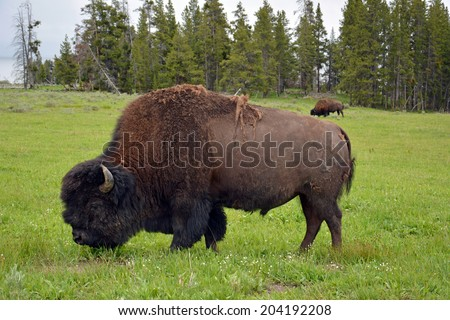 bison grazing near  yellowstone lake in yellowstone national park in wyoming     - stock photo