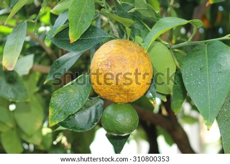 """Bitter Orange"" on the tree (or Seville Orange, Bigarade Orange, Marmalade Orange) in Munich, Germany. Citrus Aurantium is a hybrid of Citrus Maxima (Pomelo) and Citrus Reticulata (Mandarin)."