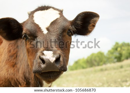 black and white cow on the field - stock photo
