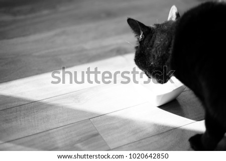 black and white portrait of a black cat drinking milk on a wooden floor
