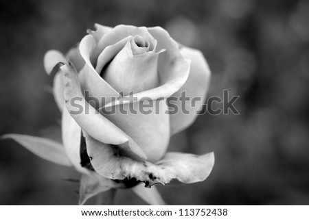 black and white rose - stock photo