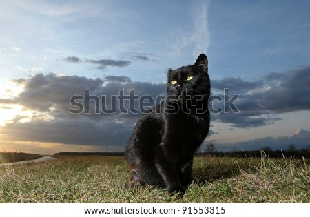 Black cat. 	Black cat on the meadow at sunset - stock photo