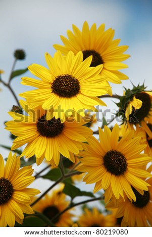 """Black-Eyed Susan"" "" Rudbeckia hirta""  lit by the sun with a beautiful blue sky backgroud outside one spring afternoon - stock photo"