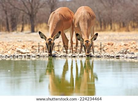 2 Black faced Impala drinking from camp waterhole - stock photo
