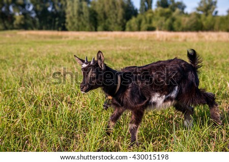 Black goat with small horns grazing in a meadow in the grass on a background of green trees and blue sky