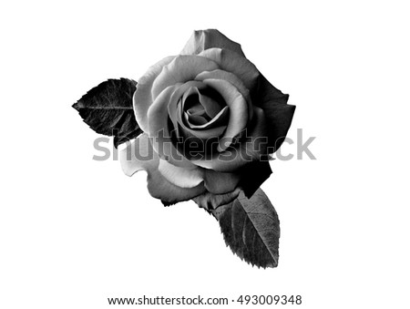 black roses stock images royalty free images amp vectors
