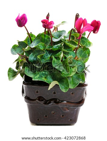 blooming pink cyclamen in  ceramic pot isolated on white background