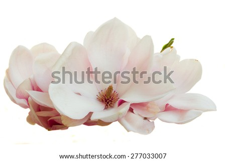 blooming  pink magnolia   flowers isolated on white background
