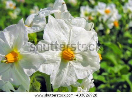 blooming potato in the vegetable garden - stock photo