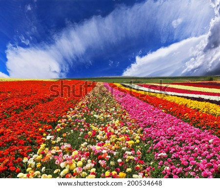 Blooming red and yellow buttercups in spring. Kibbutz huge flower fields - stock photo