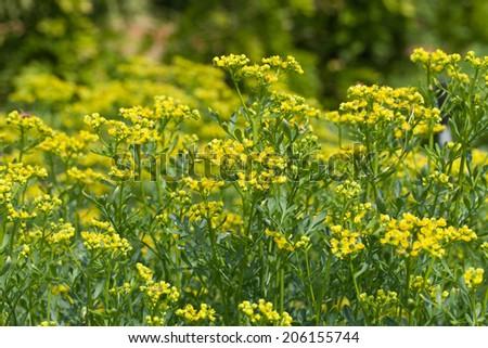 blooming ruta graveolens in garden - stock photo
