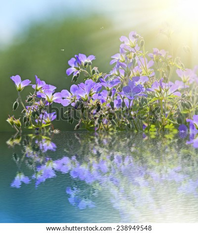 Blossoming meadow geranium on river bank is reflected in water. Bright  natural background with sun. - stock photo