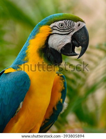 blue and yellow macaw. blue and gold macaw. macaw in natural background. bird in natural background. parrot in natural background.  blue-and-yellow macaw or  blue-and-gold macaw (Ara ararauna). - stock photo
