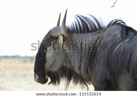 Blue Wildebeest (Connochaetes taurinus) aka Brindled Gnu. Close up in the Kalahari Desert, Grootkolk, Kgalagadi transfrontier park, south africa. - stock photo