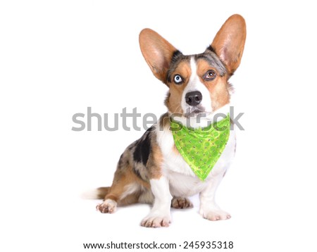 Bluemerle Cardigan Welsh Corgi in green bandana with bees