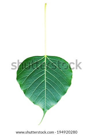 Bodhi or Peepal Leaf from the Bodhi tree isolation with clipping path