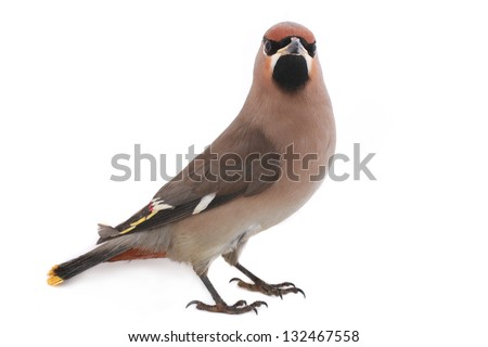 Bohemian Waxwing on a white background - stock photo