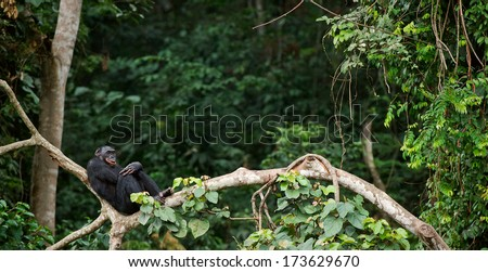 Bonobo on a tree branch. Democratic Republic of Congo. Africa  - stock photo
