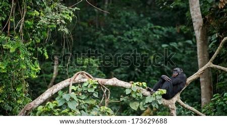 Bonobo on a tree branch. Democratic Republic of Congo. Africa  - stock photo