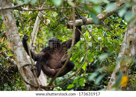 Bonobo on a tree branch. Democratic Republic of Congo. Africa