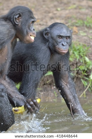 Bonobo (Pan paniscus) standing in water looks for the fruit which fell in water. Democratic Republic of Congo. Africa