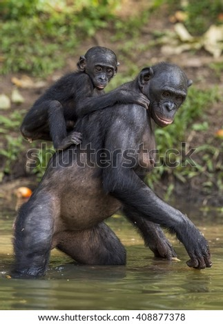 Bonobo standing on her legs in water with a cub on a back. Green natural background.  The Bonobo ( Pan paniscus), earlier being called  the pygmy chimpanzee. Democratic Republic of Congo. Africa  - stock photo