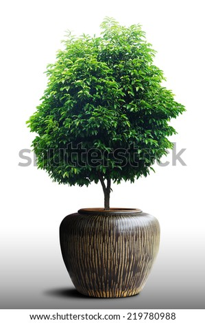 1Bonsai Tree in a plastic pot on a white background  - stock photo