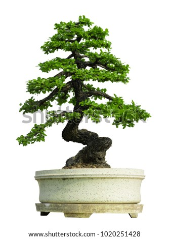 ?Bonsai tree in ceramic pot Isolated on white background