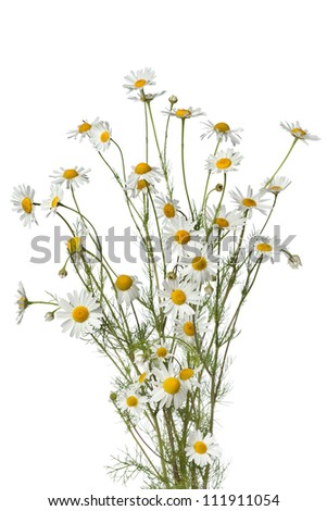 Bouquet of chamomile flowers on white background