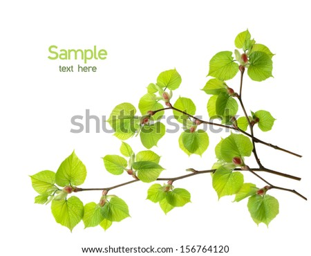 Branch of linden tree with green leaves isolated over white - stock photo