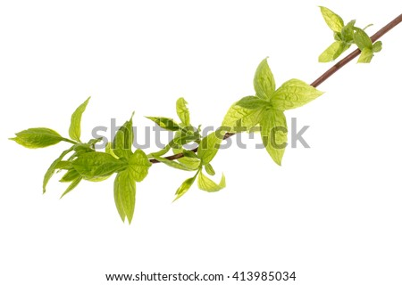 Branch of tree with young leaves, isolated on white background - stock photo