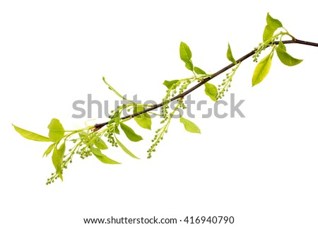 Branch of tree with young leaves.Isolated on white background. - stock photo