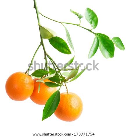 branch with fresh ripe orange fruits, isolated on white background  - stock photo