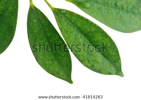 branch with green leaves isolated on  white close up