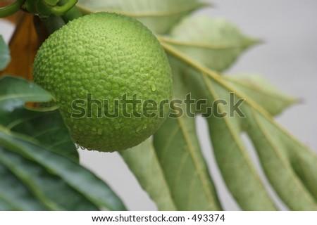 bread fruit mountain fruit