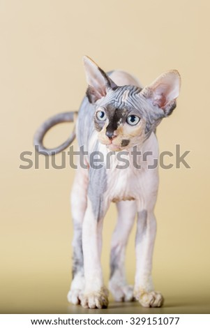 breed Sphynx kitten on a beige background