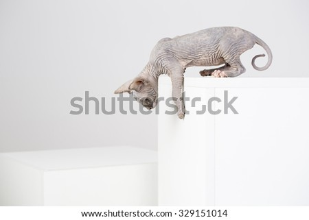 breed Sphynx kitten on a white background - stock photo