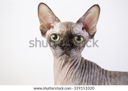 breed Sphynx kitten on a white background