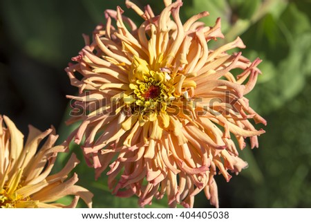 Bright  enchanting amber flowers of Zinnia  a genus of annual  plants of  sunflower tribe within the daisy family brighten up the garden in the heat of the summer months with long lasting blooms. - stock photo