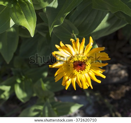 Bright  enchanting solitary flowers of Zinnia  a genus of annual  plants of  sunflower tribe within the daisy family brighten up the garden in the heat of the summer months with long lasting blooms. - stock photo