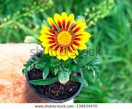 bright round yellow flower seedlings in the pot - stock photo