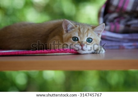 British kitten lying and resting on the table