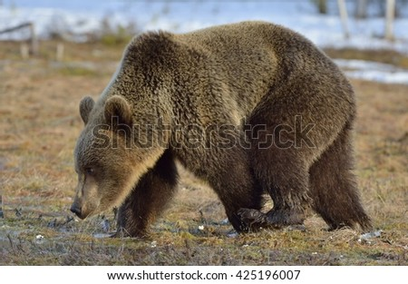 Brown Bear (Ursus arctos) on a swamp in the spring forest.